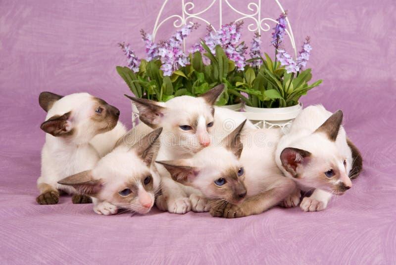 χαριτωμένα γατάκια Ασιάτης λουλουδιών αρκετά σιαμέζος στοκ φωτογραφίες