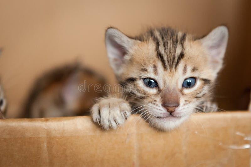 Χαριτωμένα γατάκια της Βεγγάλης στοκ εικόνες
