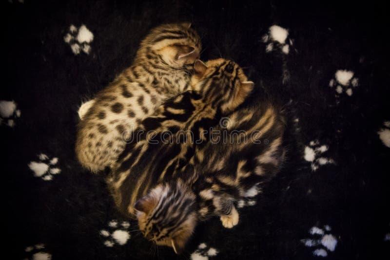 Χαριτωμένα γατάκια της Βεγγάλης στοκ φωτογραφίες με δικαίωμα ελεύθερης χρήσης