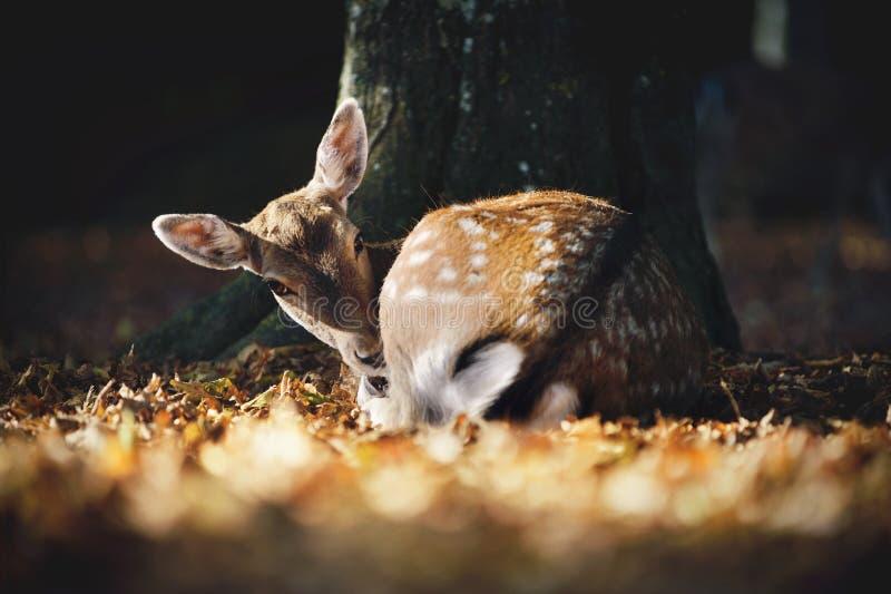 Χαριτωμένα ελάφια αγραναπαύσεων που βρίσκονται κάτω από το δέντρο στα μειωμένα φύλλα ατμόσφαιρα φθινοπωρινή στοκ φωτογραφία με δικαίωμα ελεύθερης χρήσης