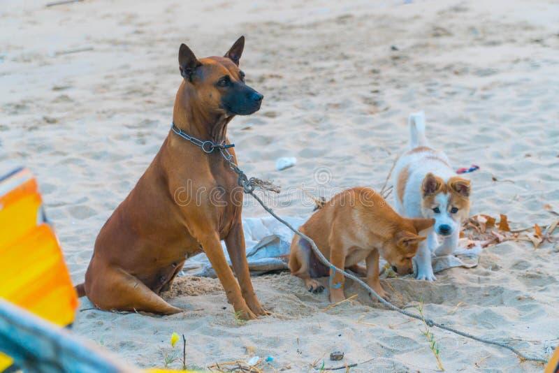 Χαριτωμένα κουτάβια σκυλιών που παίζουν στην παραλία άμμου Έννοια καταφυγίων σκυλιών στοκ εικόνες