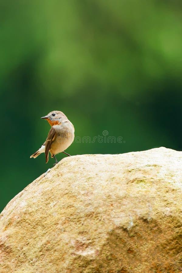 Χαριτωμένα λίγα κόκκινος-Flycatcher είναι στο βράχο Όμορφη μορφή του βράχου και του πράσινου θολωμένου υποβάθρου φωτεινό φως του  στοκ φωτογραφία
