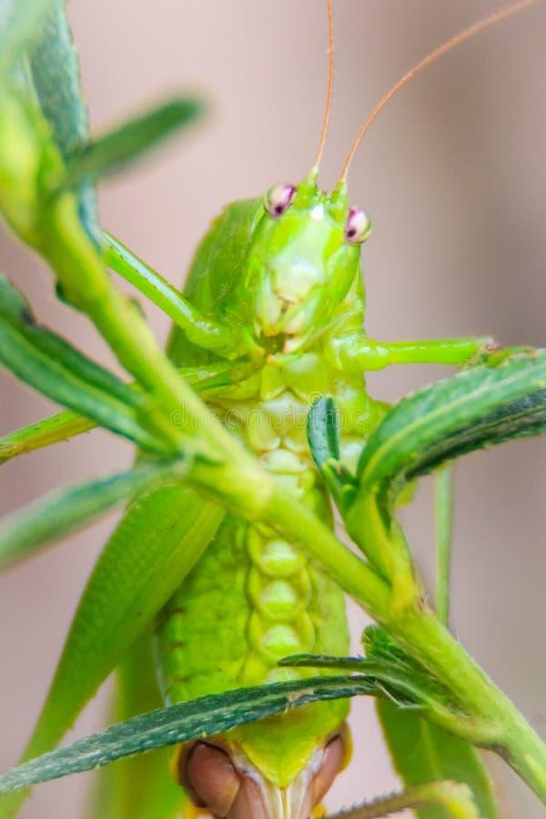 Χαριτωμένα μακρύς-κερασφόρα grasshoppers, ή Tettigoniidae, ή τζιτζίκι π στοκ φωτογραφία