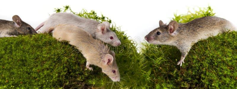 χαριτωμένα μικρά ποντίκια στοκ φωτογραφία με δικαίωμα ελεύθερης χρήσης