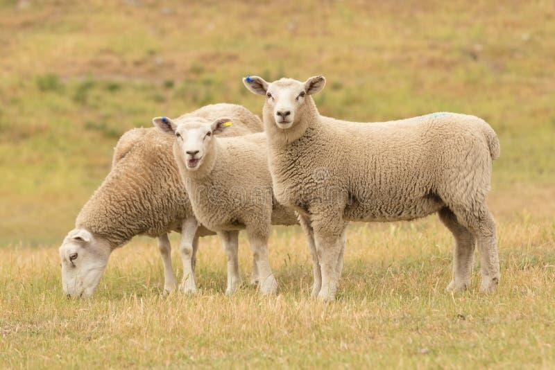 Χαριτωμένα πρόβατα μωρών πέρα από τον ξηρό τομέα χλόης στοκ εικόνα με δικαίωμα ελεύθερης χρήσης