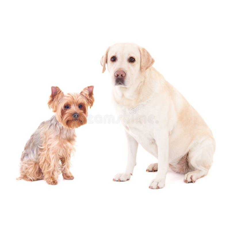 Χαριτωμένα σκυλιά - τεριέ του Γιορκσάιρ και χρυσό retriever που απομονώνονται στο W στοκ φωτογραφίες