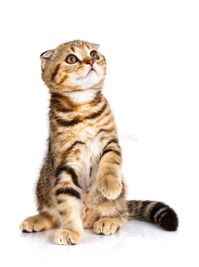 Χαριτωμένα σκωτσέζικα δίχρωμα λωρίδες γατών πτυχών που εγκαθιστούν στο λευκό στοκ φωτογραφία με δικαίωμα ελεύθερης χρήσης