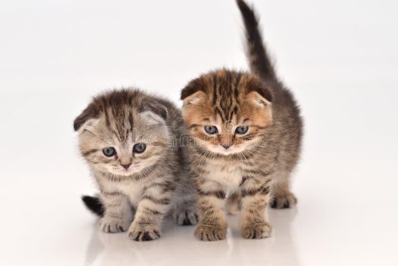 Χαριτωμένα σκωτσέζικα γατάκια πτυχών στοκ εικόνα με δικαίωμα ελεύθερης χρήσης