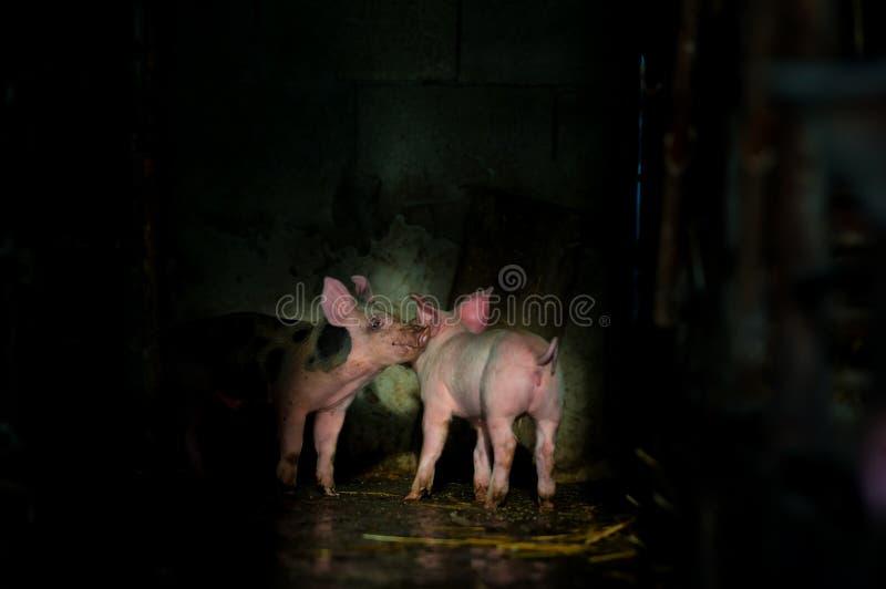 Χαριτωμένα χοιρίδια στο αγρόκτημα στοκ φωτογραφία με δικαίωμα ελεύθερης χρήσης
