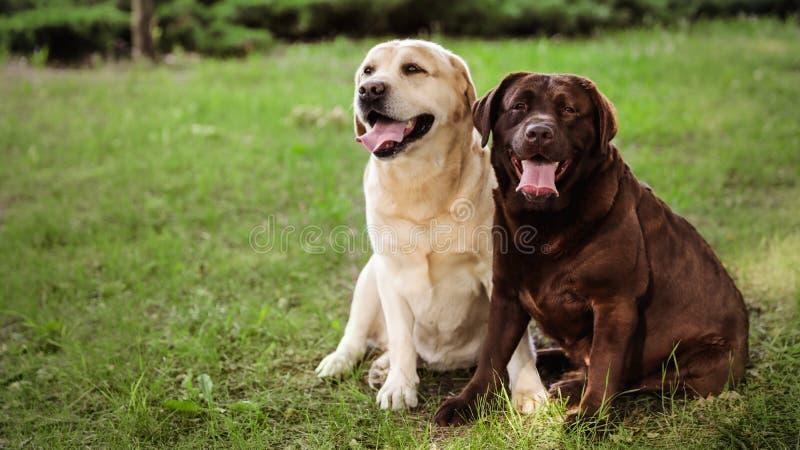 Χαριτωμένα Retriever του Λαμπραντόρ σκυλιά στην πράσινη χλόη στο θερινό πάρκο στοκ εικόνα με δικαίωμα ελεύθερης χρήσης