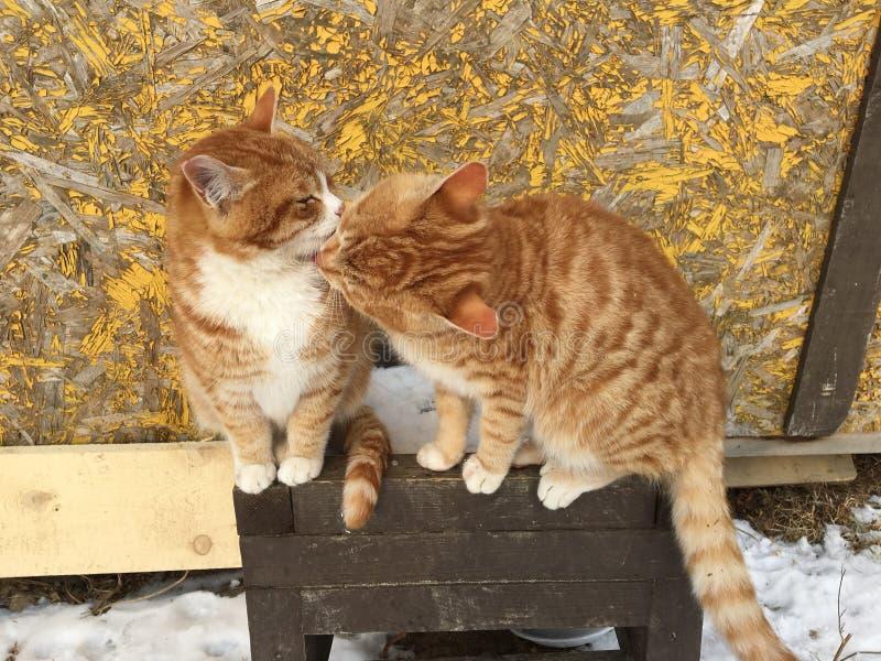 Χαριτωμένες κόκκινες γάτες από κοινού στοκ εικόνες