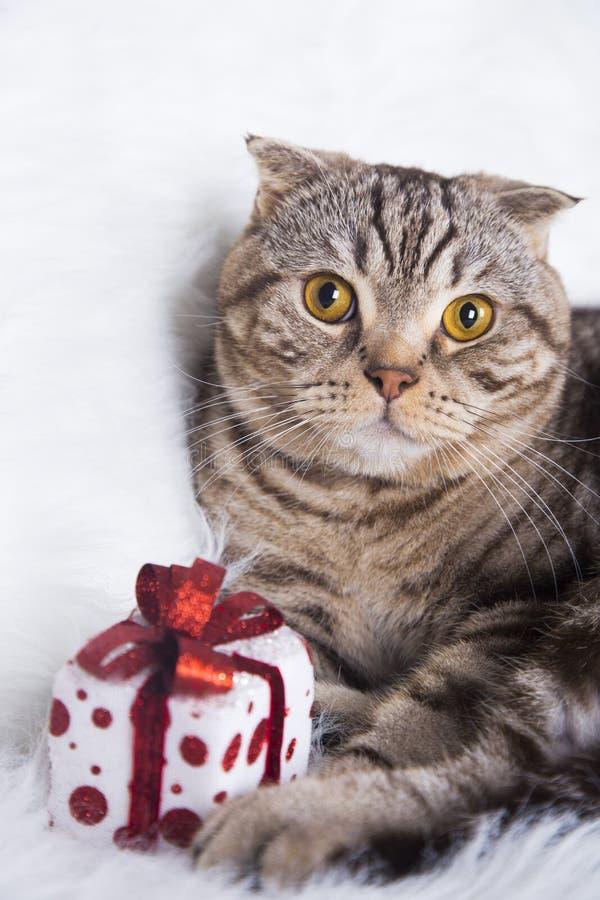 Χαριτωμένες σκωτσέζικες πτυχές με το κιβώτιο δώρων στην άσπρη γούνα στοκ φωτογραφία