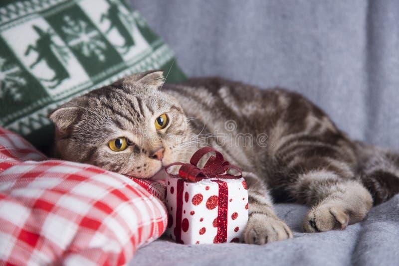 Χαριτωμένες σκωτσέζικες πτυχές με το κιβώτιο δώρων στον γκρίζο καναπέ στοκ φωτογραφίες με δικαίωμα ελεύθερης χρήσης