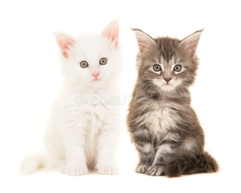 Χαριτωμένες τιγρέ και άσπρες κύριες γάτες μωρών coon που κάθονται και που εξετάζουν τη κάμερα στοκ φωτογραφία με δικαίωμα ελεύθερης χρήσης