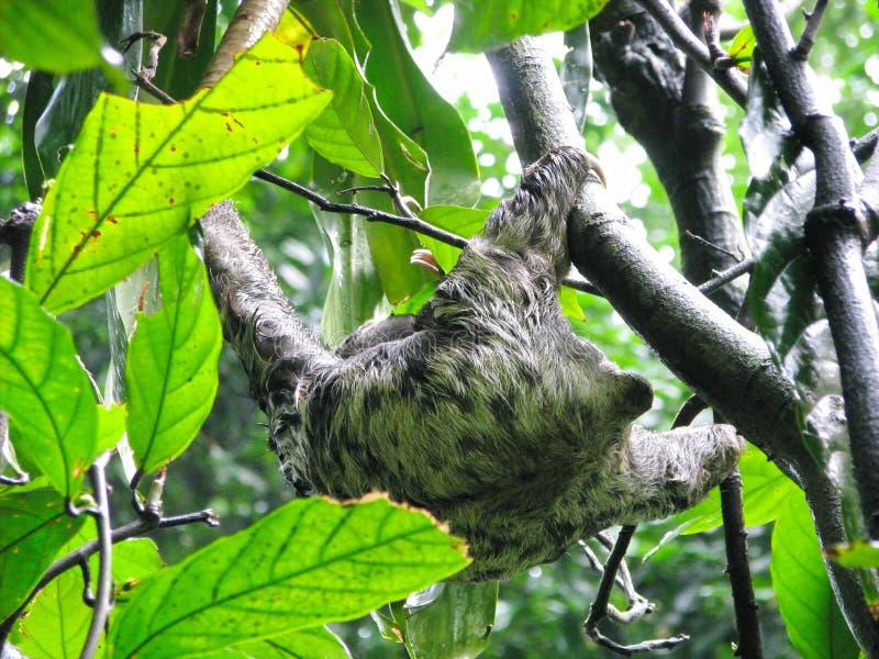 Χαριτωμένη άγρια νωθρότητα από την Αμαζονία, Βραζιλία στοκ φωτογραφίες με δικαίωμα ελεύθερης χρήσης