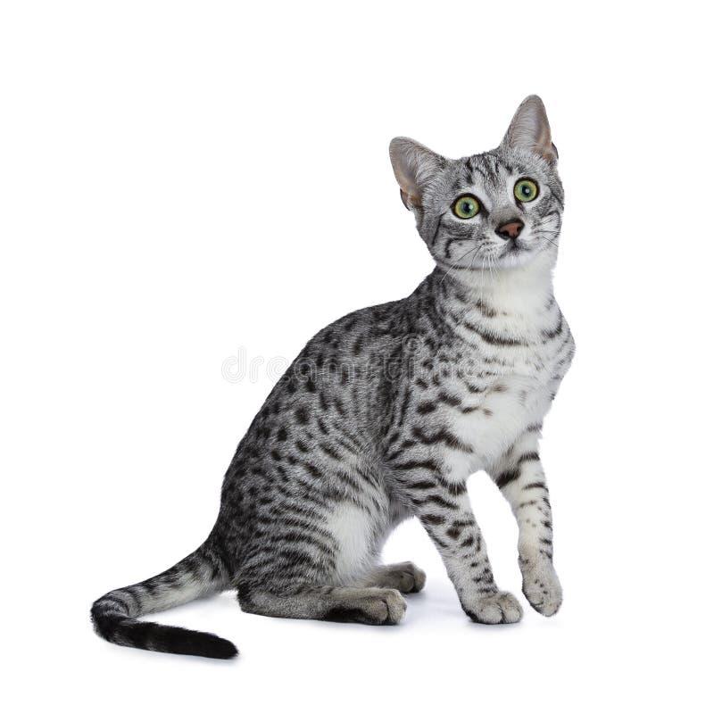 Χαριτωμένη ασημένια επισημασμένη αιγυπτιακή συνεδρίαση γατακιών γατών Mau με ένα πόδι στον αέρα που απομονώνεται στο άσπρο υπόβαθ στοκ φωτογραφίες