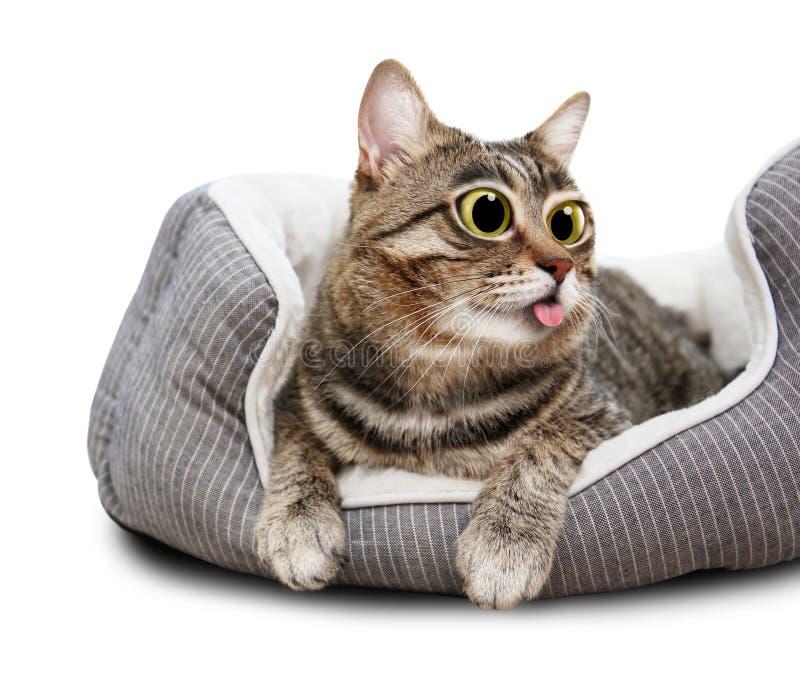 Χαριτωμένη αστεία γάτα με τα μεγάλα μάτια που παρουσιάζουν γλώσσα στοκ φωτογραφίες με δικαίωμα ελεύθερης χρήσης