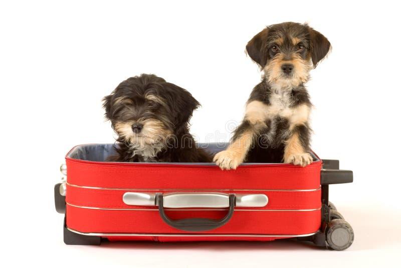 χαριτωμένη βαλίτσα κουταβιών αδελφών στοκ εικόνα