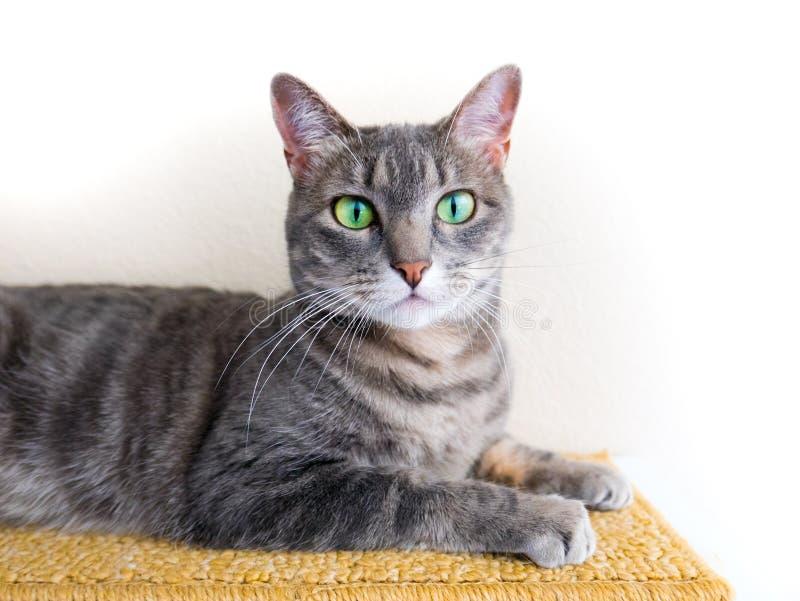 Χαριτωμένη γκρίζα τιγρέ γάτα με τα πράσινα μάτια στοκ φωτογραφίες