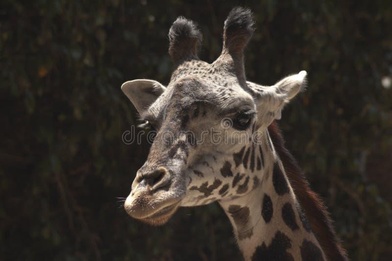 Χαριτωμένη δύση - αφρικανικό Giraffe στο σχεδιάγραμμα στο ζωολογικό κήπο του Λος Άντζελες στοκ εικόνα