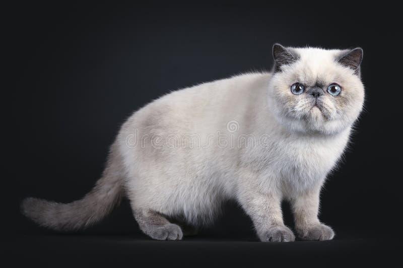 Χαριτωμένη εξωτική γάτα Shorhair στο Μαύρο στοκ εικόνα