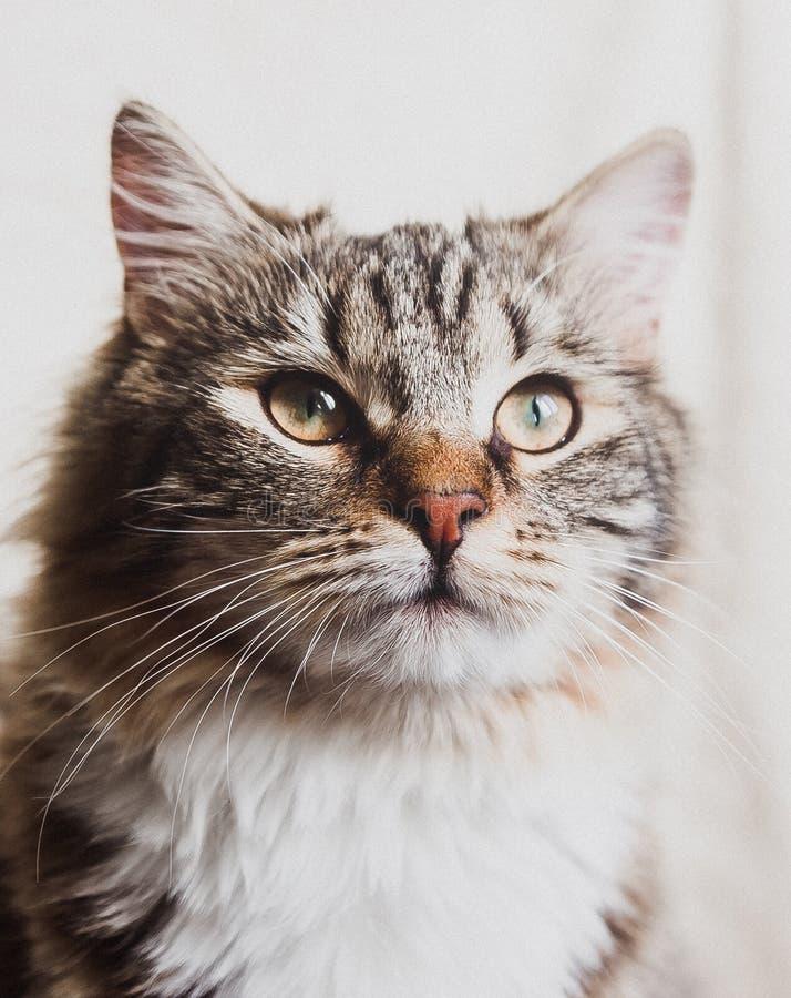 Χαριτωμένη καφετιά ριγωτή περήφανη κατακόρυφος πορτρέτου γατών στοκ φωτογραφία
