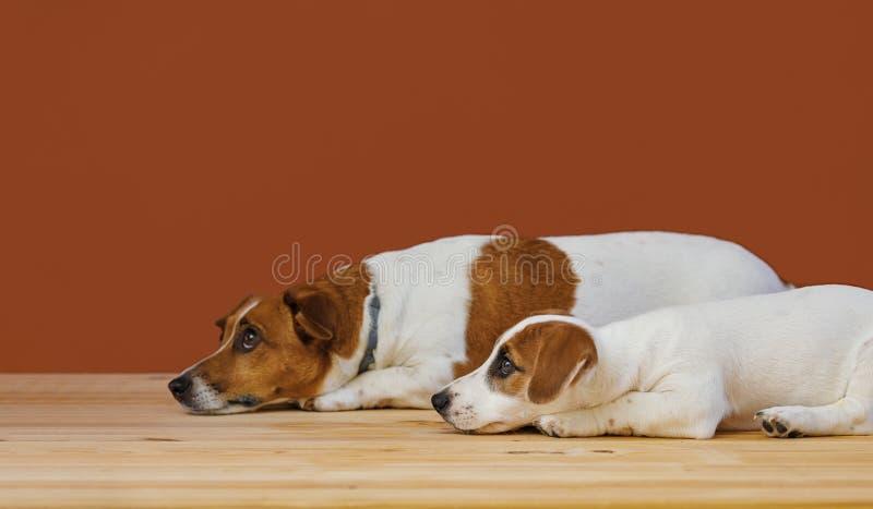Χαριτωμένη μητέρα και το σκυλί τεριέ γρύλων κουταβιών της russel στον πυροβολισμό στούντιο στοκ εικόνα με δικαίωμα ελεύθερης χρήσης