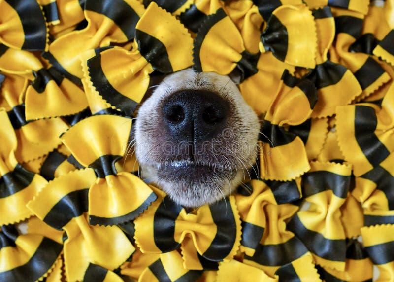 Χαριτωμένη μύτη σκυλιών ` s που σπρώχνει από τα ζυμαρικά στοκ εικόνα