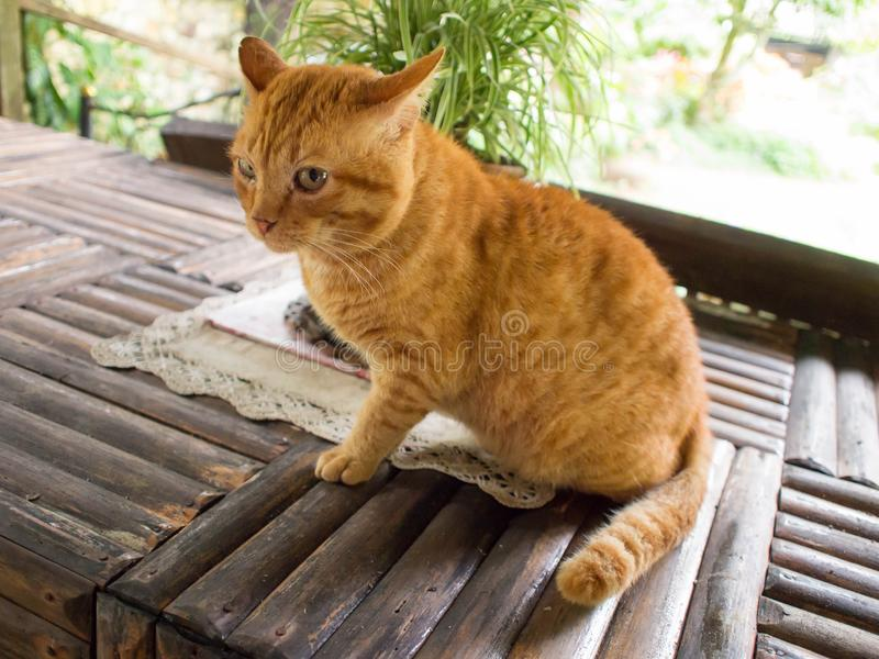 Χαριτωμένη πορτοκαλιά τιγρέ γάτα, πορτοκαλιά συνεδρίαση χρώματος γατών στοκ εικόνες