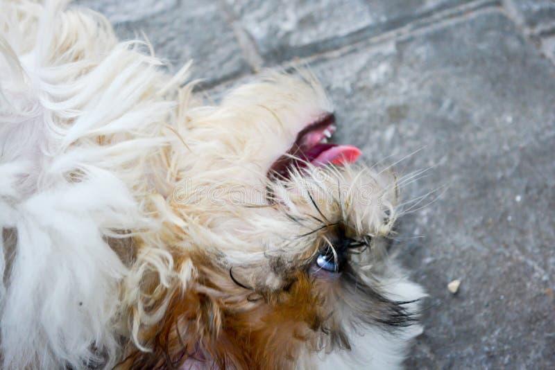 Χαριτωμένη στενή επάνω χαλάρωση σκυλιών Shih Tzu στοκ φωτογραφίες