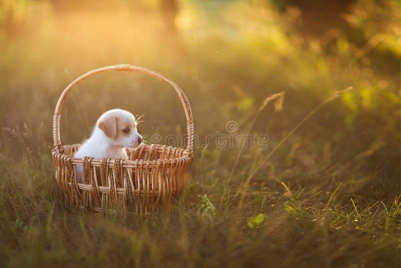 Χαριτωμένη συνεδρίαση κουταβιών σε ένα ψάθινο καλάθι στο ηλιοβασίλεμα στο δάσος η έννοια της φιλίας, της ευτυχίας, της χαράς και  στοκ εικόνα με δικαίωμα ελεύθερης χρήσης