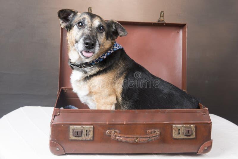 Χαριτωμένη συνεδρίαση σκυλιών Corgi μέσα σε μια βαλίτσα με τη γλώσσα του έξω στοκ εικόνες με δικαίωμα ελεύθερης χρήσης