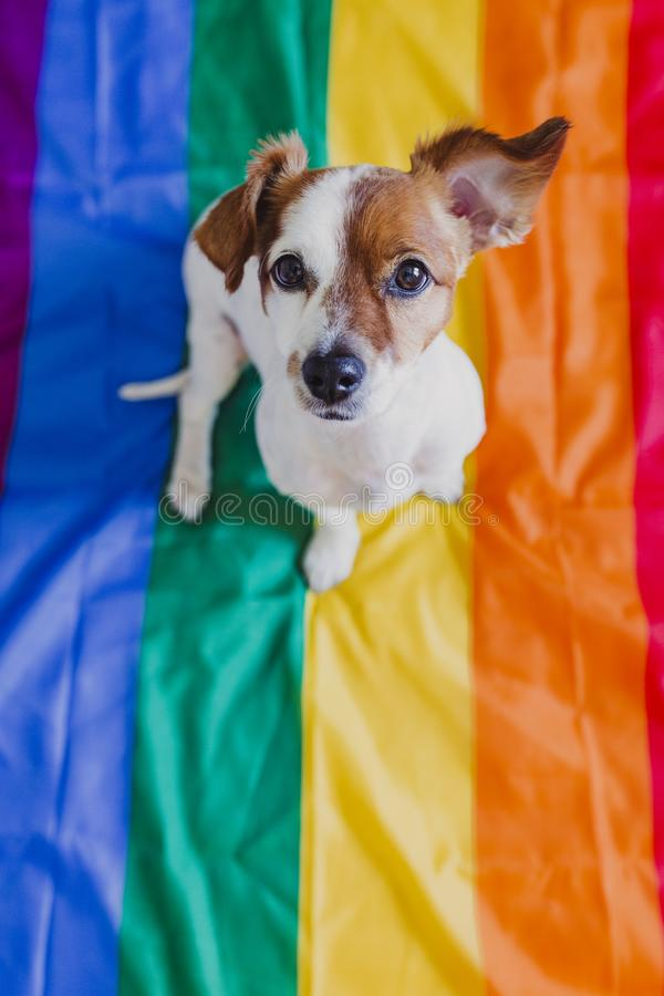 Χαριτωμένη συνεδρίαση του Russell γρύλων σκυλιών στη σημαία ουράνιων τόξων LGBT στην κρεβατοκάμαρα Ο μήνας υπερηφάνειας γιορτάζου στοκ εικόνα με δικαίωμα ελεύθερης χρήσης