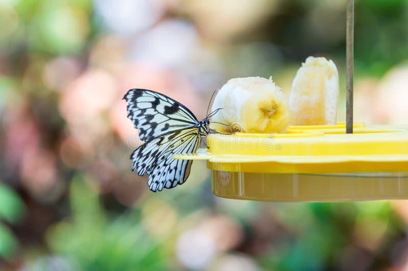 Χαριτωμένη συνεδρίαση πεταλούδων στον τροφοδότη δίσκων με την μπανάνα στοκ εικόνες με δικαίωμα ελεύθερης χρήσης