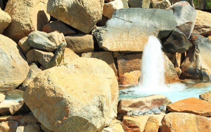 Χαριτωμένη υπερήφανη σαύρα στο βράχο κοντά στην πηγή Νησί της Αρούμπα στοκ εικόνες