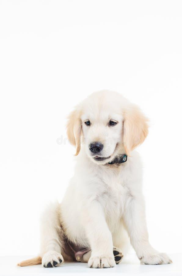 Χαριτωμένη χρυσή retriever του Λαμπραντόρ συνεδρίαση σκυλιών κουταβιών στοκ φωτογραφίες με δικαίωμα ελεύθερης χρήσης