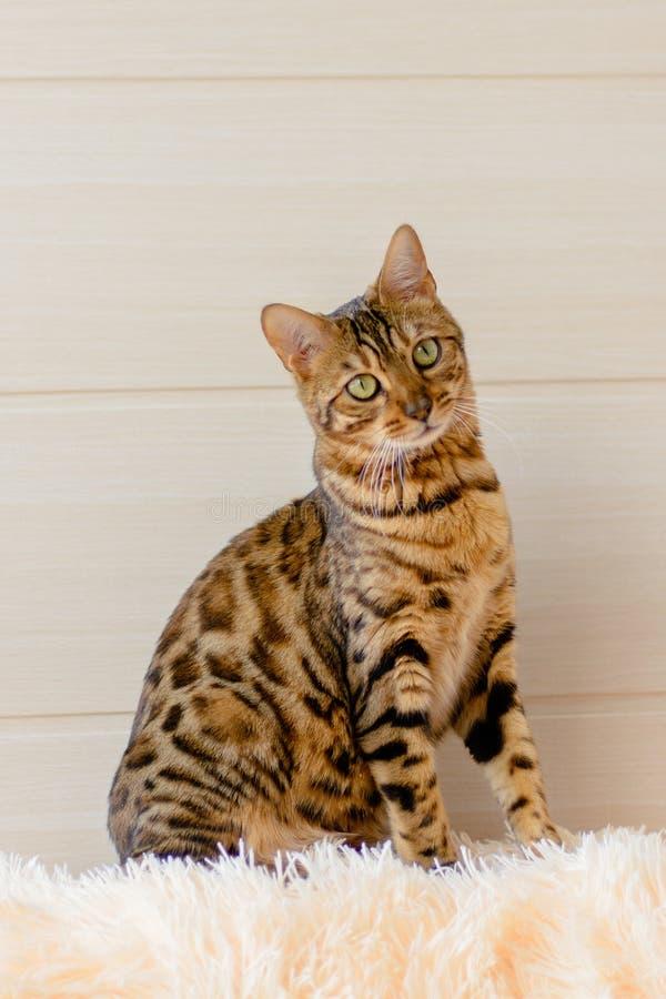 Χαριτωμένη όμορφη γάτα της Βεγγάλης στον τάπητα στοκ εικόνες με δικαίωμα ελεύθερης χρήσης