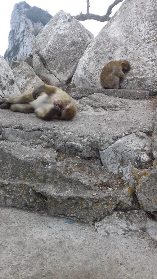 χαριτωμένοι άγριοι πίθηκοι Γιβραλτάρ στοκ φωτογραφίες