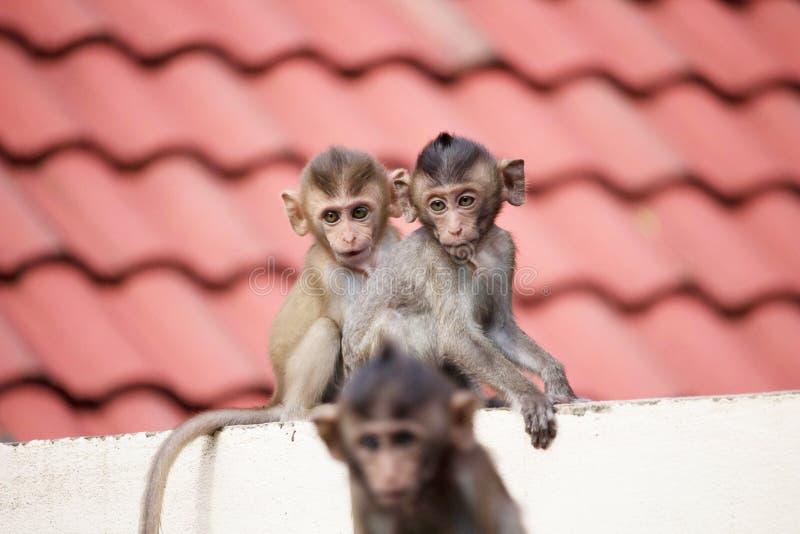 Χαριτωμένοι πίθηκοι στοκ εικόνα
