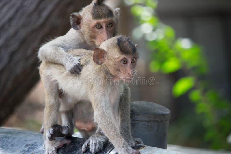 Χαριτωμένοι πίθηκοι στοκ φωτογραφία