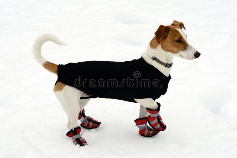 Χαριτωμένος λίγο τεριέ που φορά τα παπούτσια χιονιού στοκ εικόνες