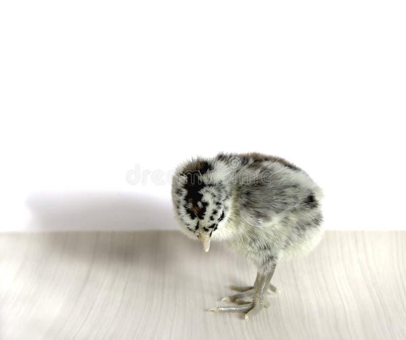 Χαριτωμένος λίγο chickie στοκ εικόνες