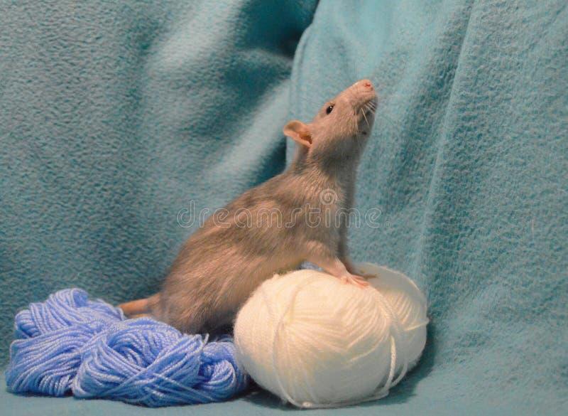 Χαριτωμένος γκρίζος αρουραίος με τα νηματοδέματα του πλεξίματος του μαλλιού σε ένα μπλε υπόβαθρο στοκ εικόνα με δικαίωμα ελεύθερης χρήσης