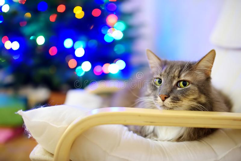 Χαριτωμένος γκρίζος ύπνος γατών σε μια καρέκλα στη ημέρα των Χριστουγέννων Χρόνος εξόδων με την οικογένεια και τα κατοικίδια ζώα  στοκ εικόνες