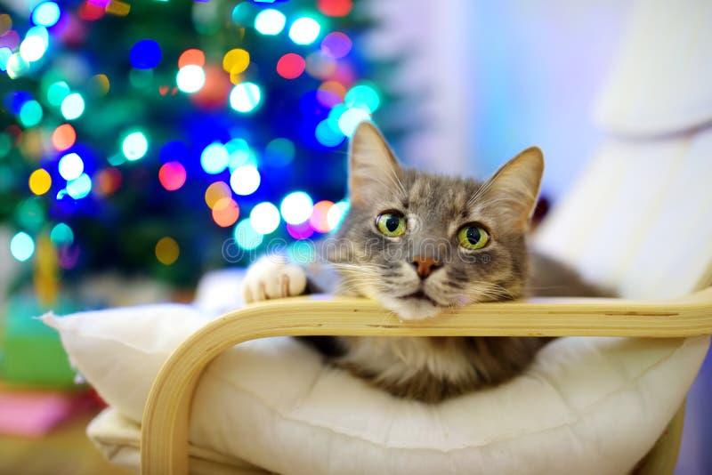 Χαριτωμένος γκρίζος ύπνος γατών σε μια καρέκλα στη ημέρα των Χριστουγέννων Χρόνος εξόδων με την οικογένεια και τα κατοικίδια ζώα  στοκ εικόνα
