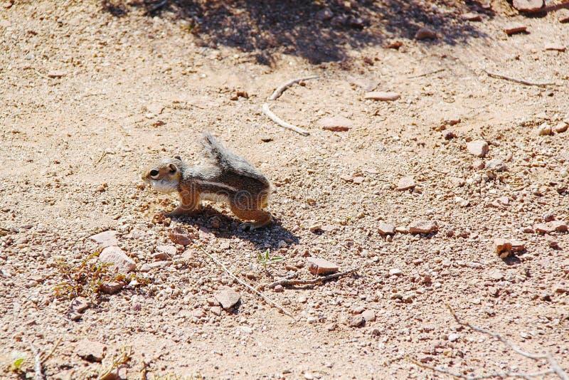 Χαριτωμένος γοπχερ που αναπηδά στην έρημο Κλείστε επάνω την όψη μεγάλος φαραγγιών στοκ εικόνα