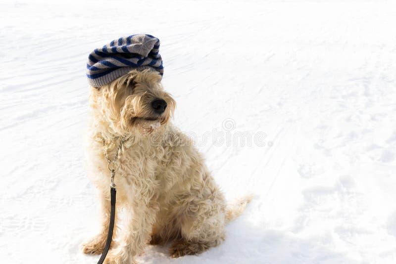 Χαριτωμένος ιρλανδικός ένας σιταρένιος το τεριέ έναν άσπρο χειμώνα ημέρα W στοκ φωτογραφία με δικαίωμα ελεύθερης χρήσης