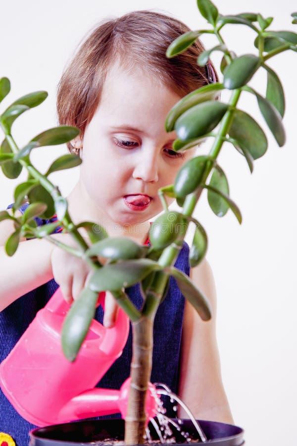 Χαριτωμένος λίγος κηπουρός κοριτσιών παιδιών που φροντίζει houseplant Crassu στοκ φωτογραφία με δικαίωμα ελεύθερης χρήσης