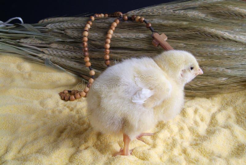 Χαριτωμένος λίγο κοτόπουλο που απομονώνεται στο κίτρινο υπόβαθρο στοκ εικόνες με δικαίωμα ελεύθερης χρήσης