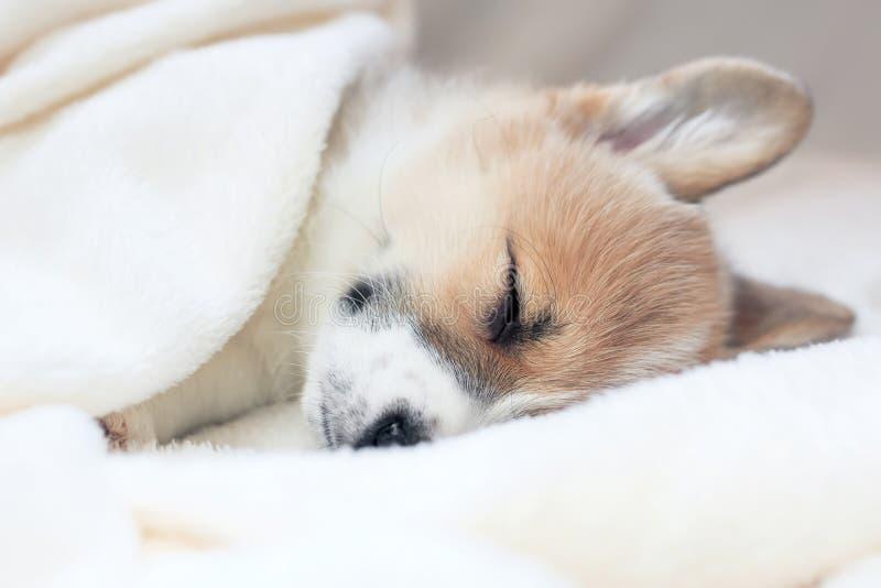 Χαριτωμένος λίγο κουτάβι που κοιμάται γλυκά σε ένα άσπρο κρεβάτι κάτω από ένα κενό στοκ εικόνα